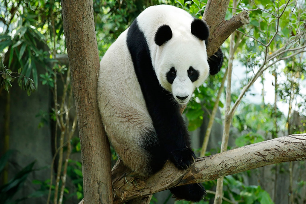 panda terkenal di River Safari