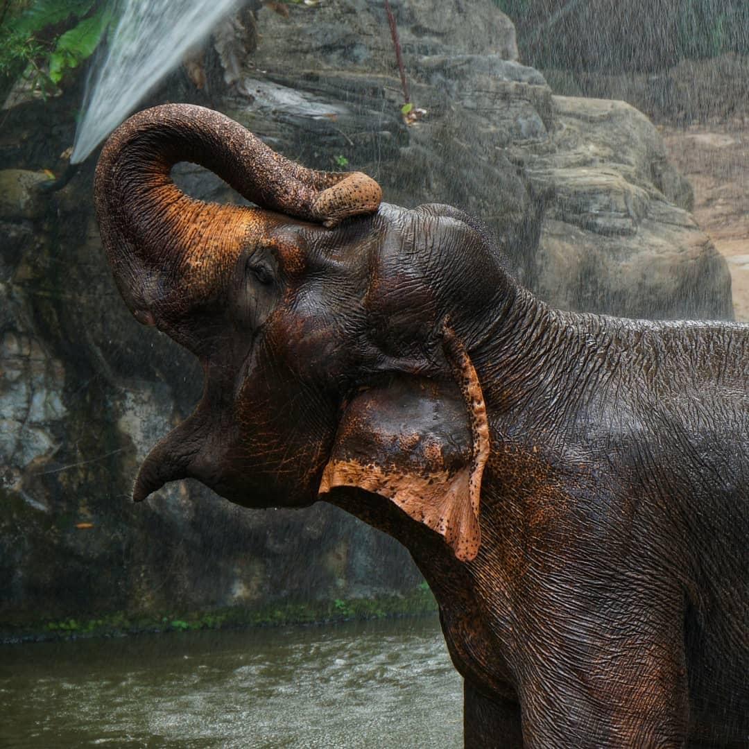 Gajah di Singapore Zoo. Instagram @mynameiszsolt