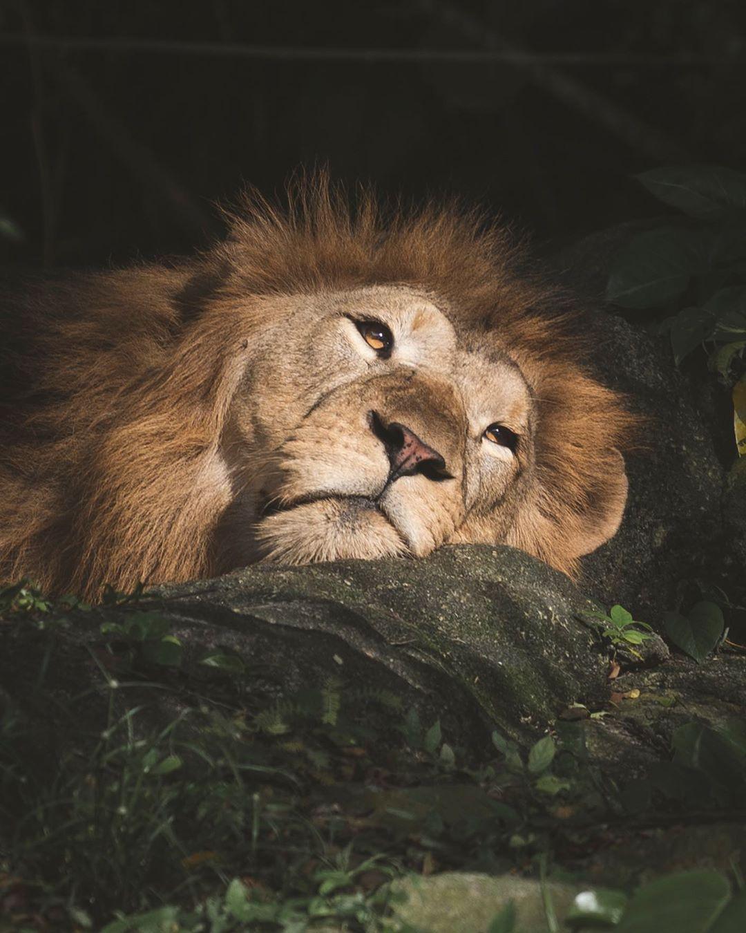 Singa di Singapore Zoo. Instagram @lhynic